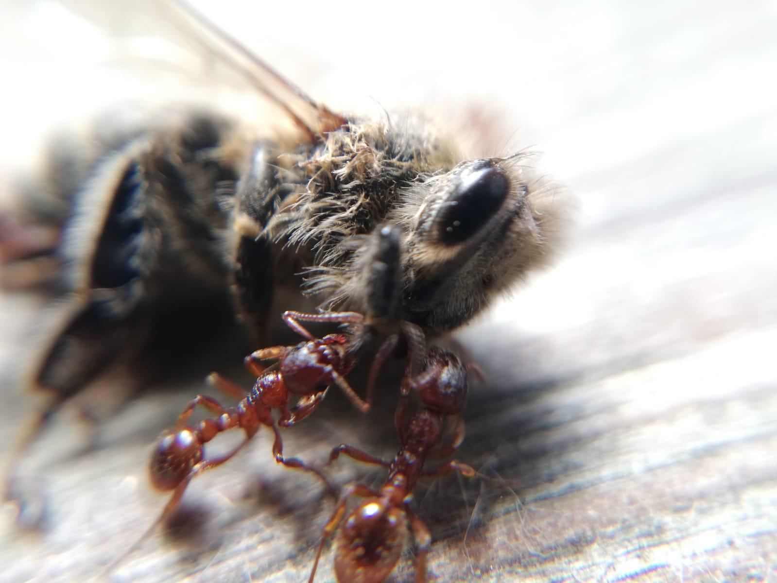 Biene und Ameisen