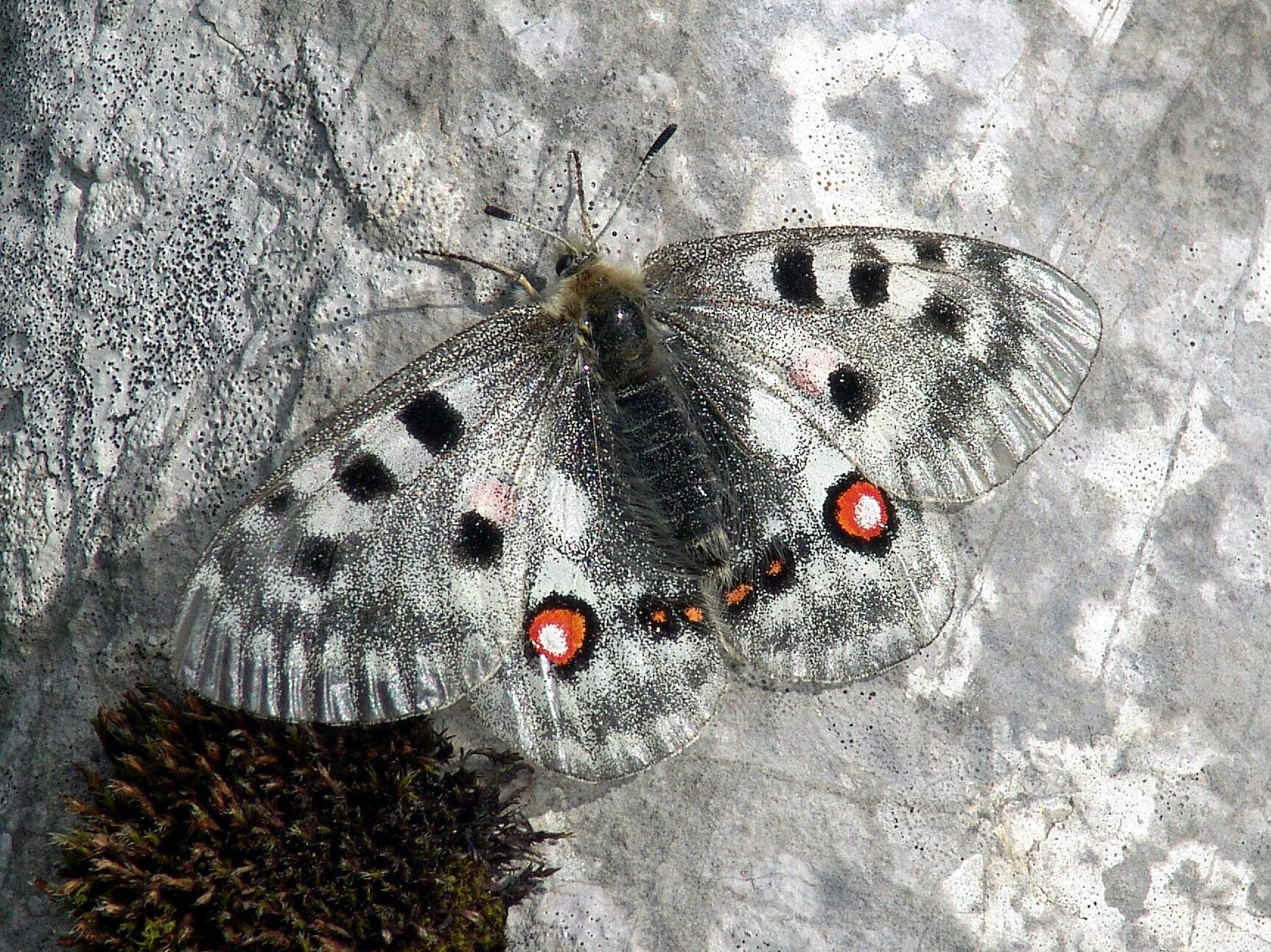 Bild Schmetterlin Parnassius apollo