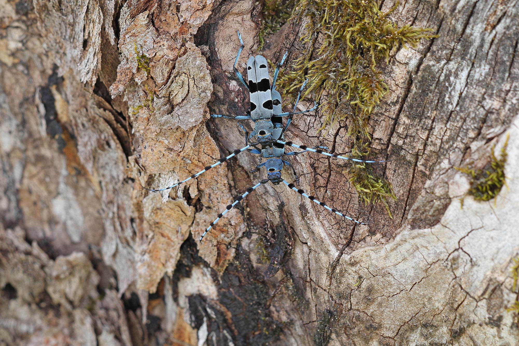 Foto: Der Alpenbock (Rosalia alpina) gehört zu den Bockkäfern. Seine Larven ernähren sich von abgestorbenem Holz | © Christoph Moning